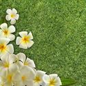 Frangipani on green grass Stock Illustration