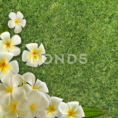 Stock Illustration of frangipani on green grass