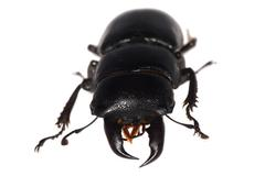 Stag beetle isolated Stock Photos