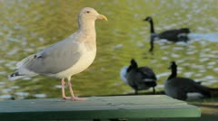 Seagull and Geese Stock Footage