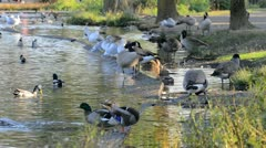Ducks, Geese, and Seagulls Stock Footage