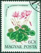 stamp printed in Hungary shows Cyclamen - stock photo