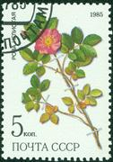 stamp from USSR, shows prickly rose (Rosa acicularis lindi) - stock photo