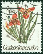 post stamp printed in Czechoslovakia shows Tigridia pavonia flower - stock photo