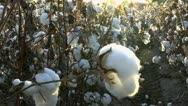 Stock Video Footage of Cotton Field Golden Rays