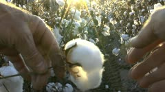Cotton Picking Sun Stock Footage