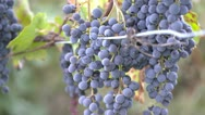 Grapes on the Vine Stock Footage