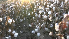 Walk Through Sunny Cotton Field Stock Footage