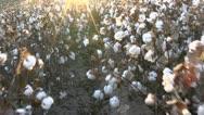 Stock Video Footage of Walk Through Sunny Cotton Field