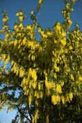 Laburnum Tree - stock photo