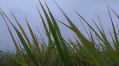 Rice harvest Stock Footage