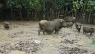 Pigs in a mud Stock Footage