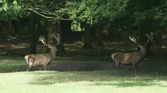 Red deer stag - cervus elaphus - 2-shot in forest  07p Stock Footage