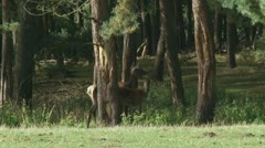 Red deer hind with calve - cervus elaphus in forest 09p Stock Footage
