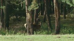 Red deer hind with calve - cervus elaphus in forest 09i Stock Footage