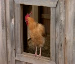 Stock Video Footage of Rooster in Window