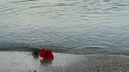 Red rose taken offshore by the waves Stock Footage