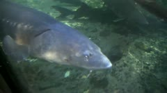 White Sturgeon, clear water - stock footage