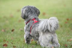 Gray and White Shih Tzu Looking Away Stock Photos