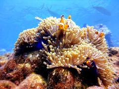 Family clown anemonefish at similan,thailand Stock Photos