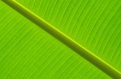 abstract of banana leaf - stock photo