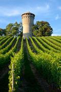 beautiful lush, green vineyard - stock photo