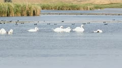 Plenty swans and other birds on a lake Stock Footage