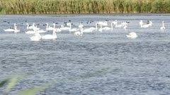 Swans and other birds swimming on the lake Stock Footage