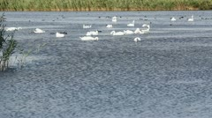 White and black birds feeding on the lake Stock Footage