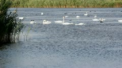 Many swans resting on the lake Stock Footage