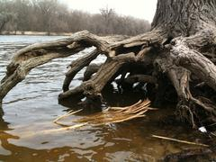Large tree roots above the river water in spring - stock photo