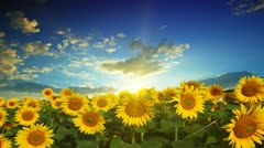 Flowering sunflowers Stock Footage