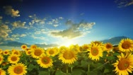 Flowering sunflowers Stock Footage
