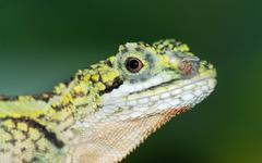 chinese green lizard head - stock photo