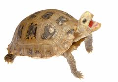 cute pet turtle tortoise isolated - stock photo