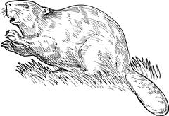 Stock Illustration of european beaver or eurasian beaver drawing