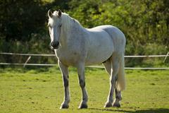 White horse in a paddock Stock Photos