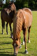 young thoroughbred horse grazing - stock photo