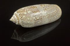 lettered olive shell oliva sayana seashell . - stock photo
