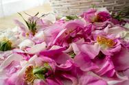 Pink rose petals Stock Photos