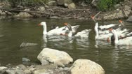 Stock Video Footage of Geese on the River, Geese Bathing in a Mountain River