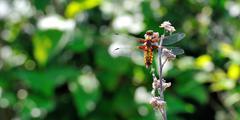 Dragonfly - libellula depressa - stock photo
