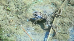 Frog in the Pond Stock Footage
