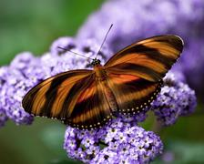 banded orange heliconian butterfly - stock photo