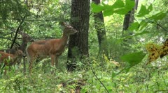 Stock Video Footage of White-tailed deer in the woods