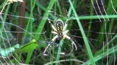 Black and Yellow Argiope spider Stock Footage