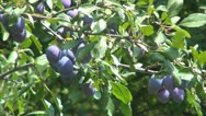 Plum Tree, Branches of Plums, Ecological Plums, Organic Fruits, Plum Orchard Stock Footage