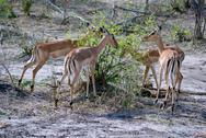 Gazelle Herd Stock Photos
