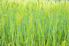 fringe of highland barley - stock photo
