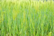 Stock Photo of fringe of highland barley